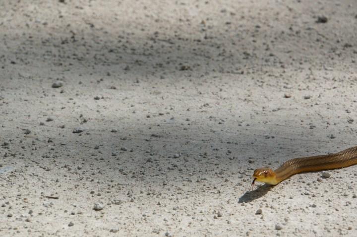 Schlange Everglades