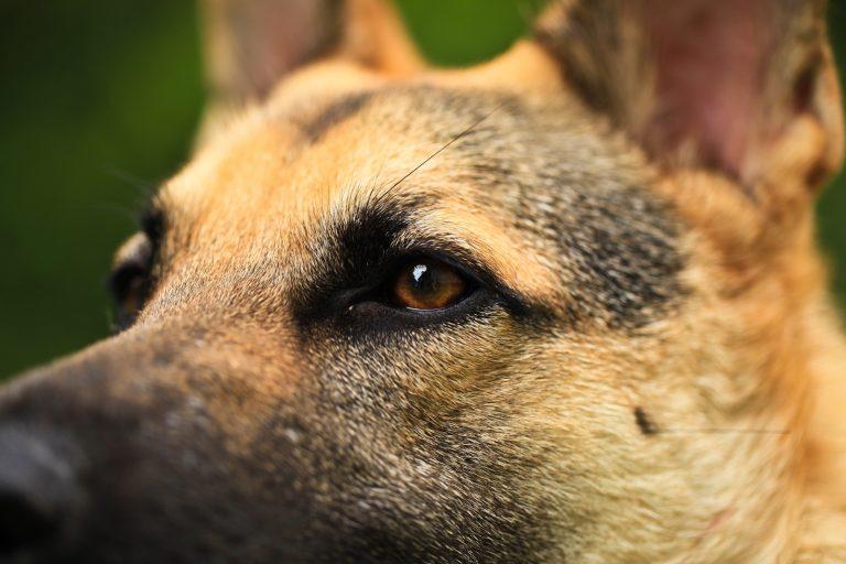 Canine Study