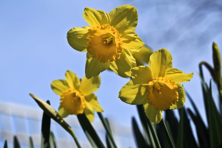 Askewed Daffodils