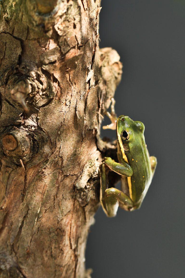 Tree+Frog