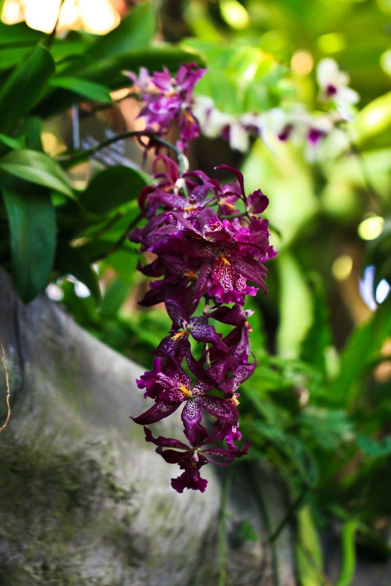 Purple Dendrobium Orchids (Spider Orchids)
