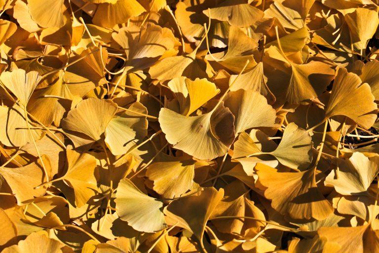 Yellow Ginko Pt.2