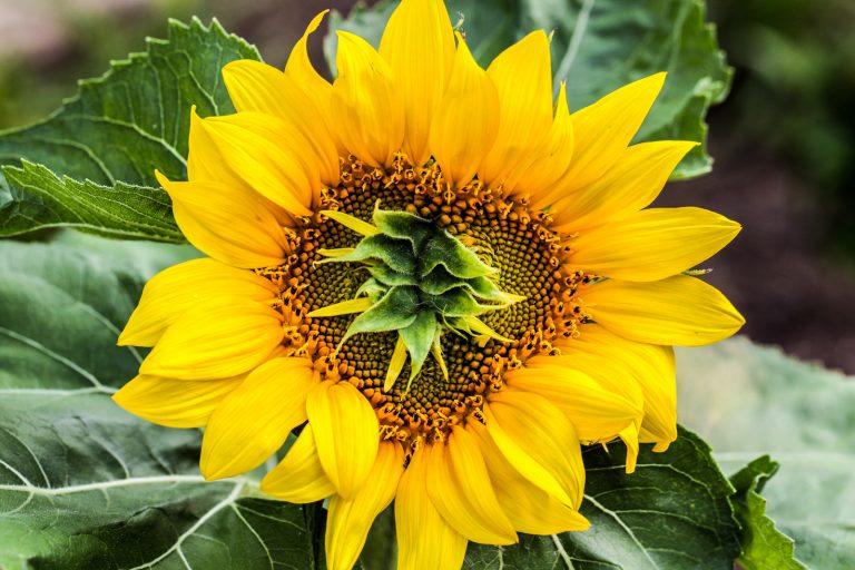 Mutant Sunflower