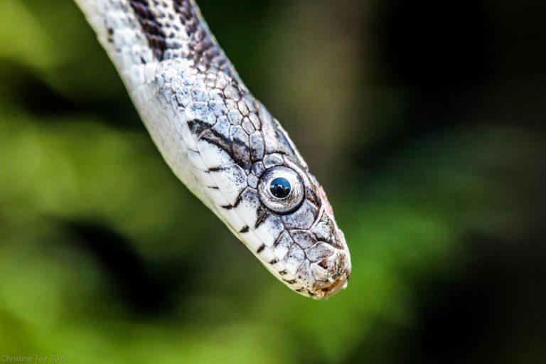 Juvenile Grey Rat Snake #2