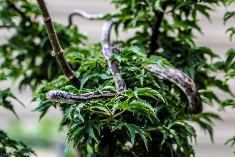 Juvenile Grey Rat Snake #1