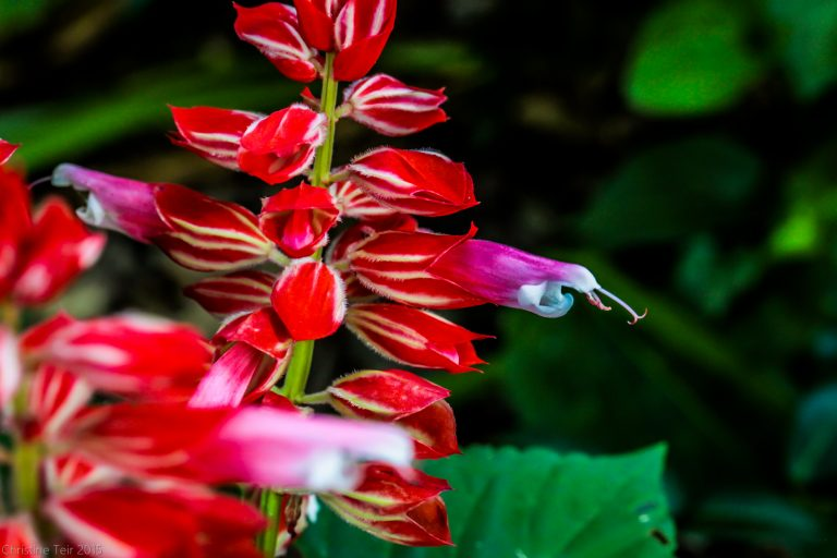 Red Salvia Bloomstalk