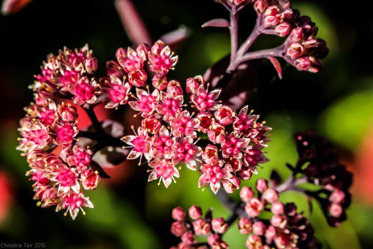 Sedum Blooms