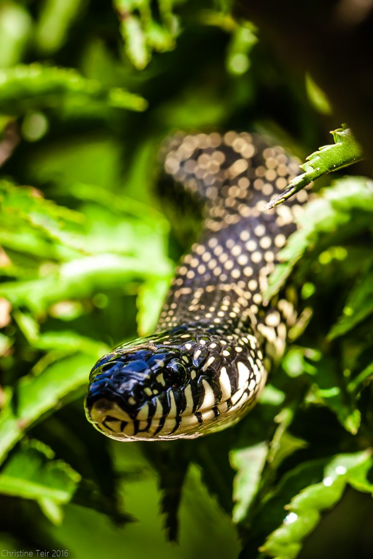 Your Buddy, Speckled Kingsnake