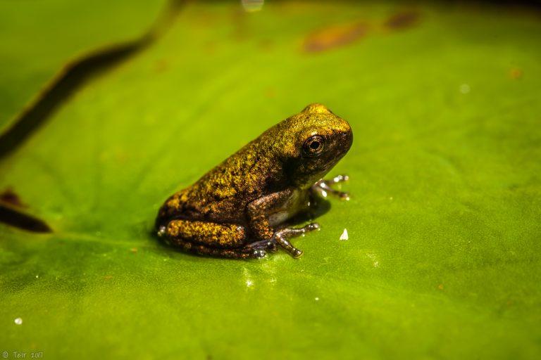 Froglet