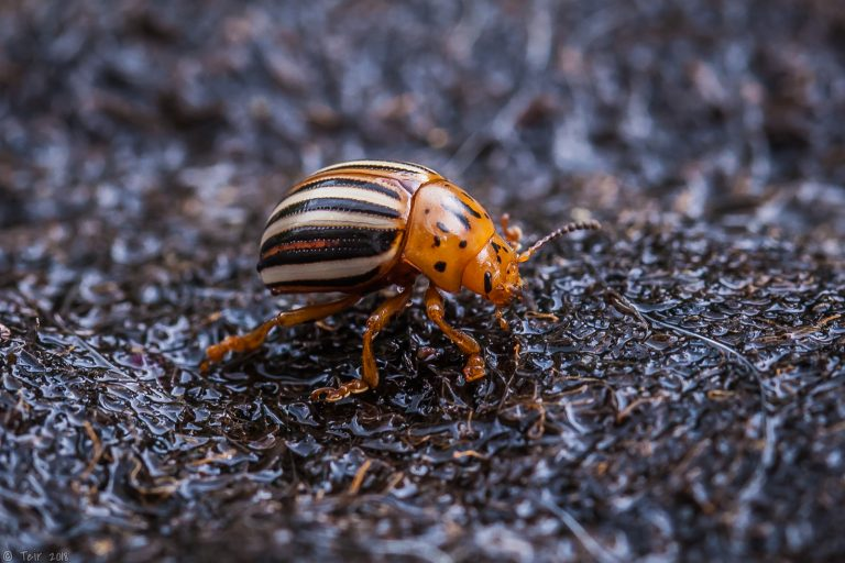 Potato beetle.
