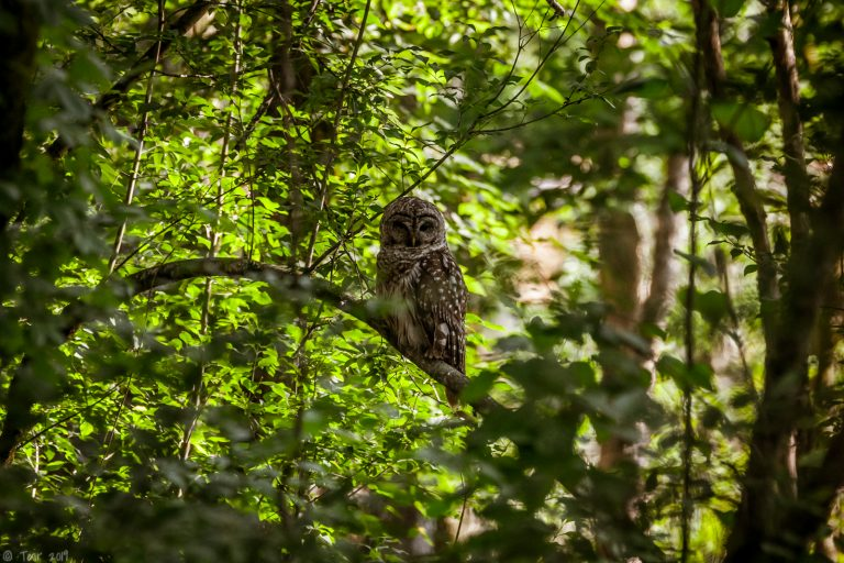 Barred owl in the shade
