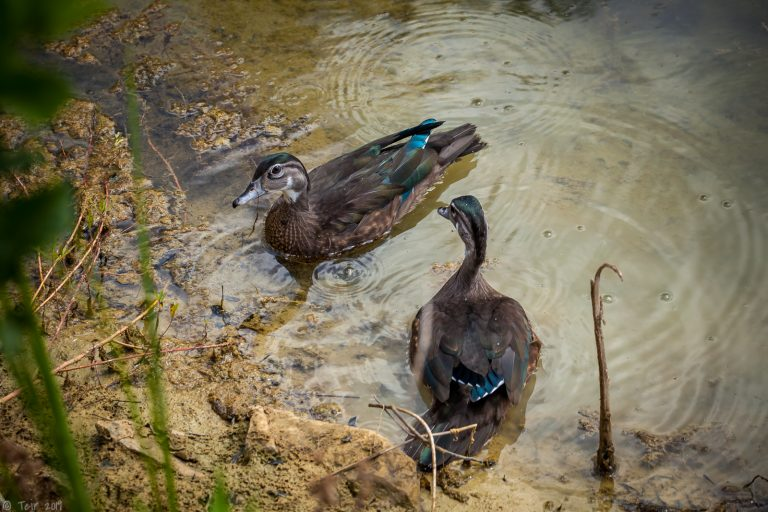 muddy ducks