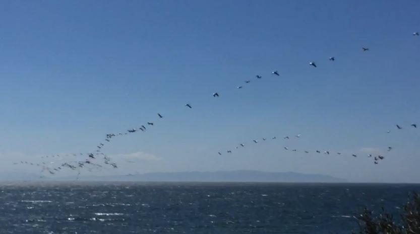 Göç eden pelikanlar Tekirdağ semalarını kapladı