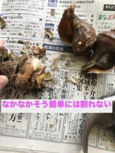 なかなか簡単にはつぶ貝の殻が割れない
