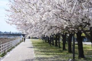 津田公園の桜並木