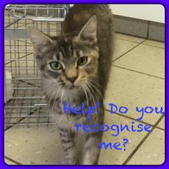 tabby torbie female, DMH DARG chip wrong details 2
