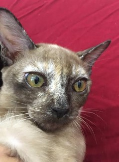 cookie karama burmese2
