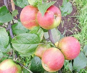 Сорта яблонь для Сибири: их фото с названием и описанием ...