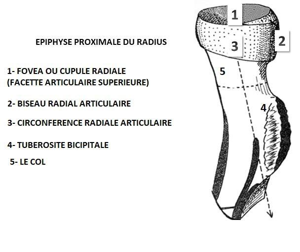 epiphyse proximale du radius