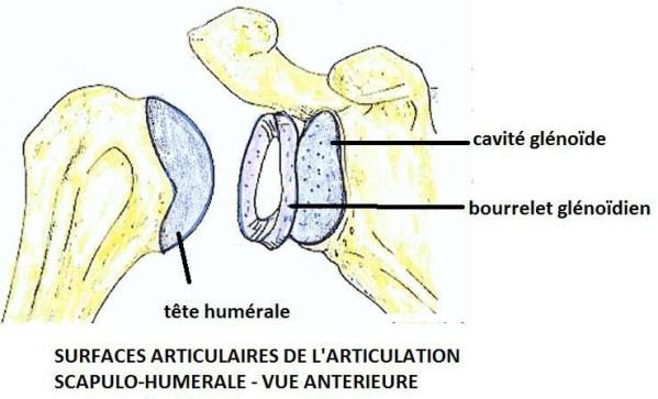 surfaces articulaires de l articulation scapulo humerale vue anterieure