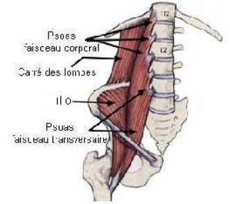 Muscle poly gastrique
