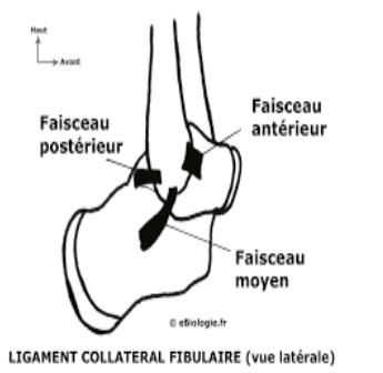 Ligament calcaneo fibulaire