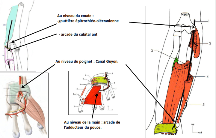 anatomie clinique nerf ulnaire par compression