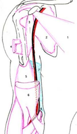 arteres axillaire puis de l artere brachiale