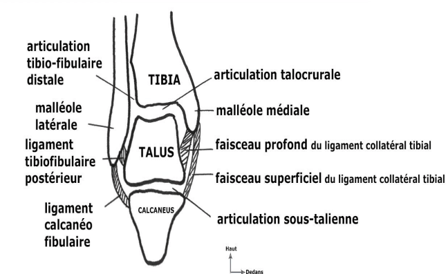 coupe frontale des articulations de la cheville