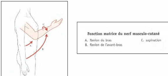 fonction motrice du nerf musculo cutane