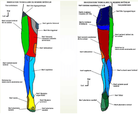 innervation tronculaire