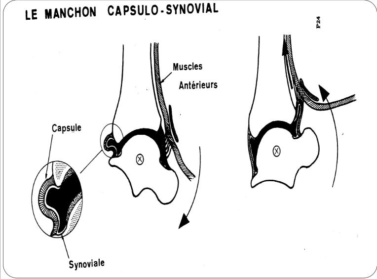 la manchon capsulo synovial