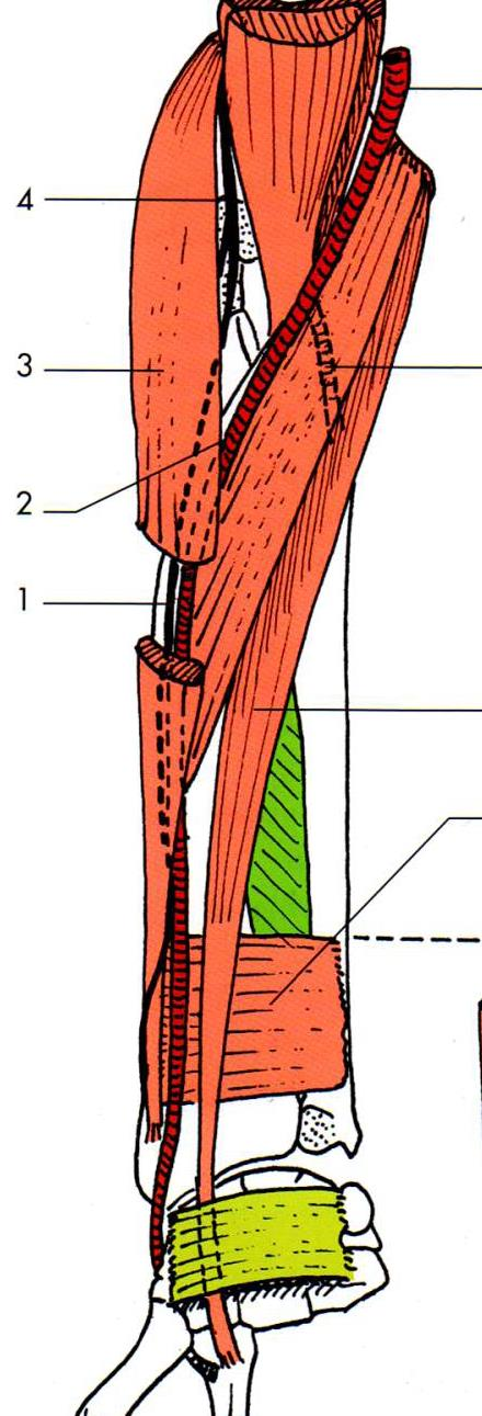 rapports musculaires