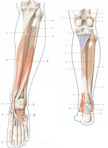 Le muscle long flechisseur de l