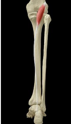 Le muscle plantaire