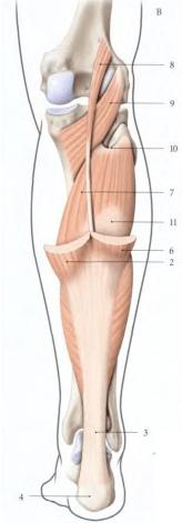 Origine du muscle soleaire