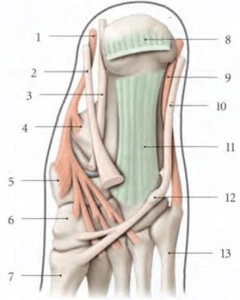 le muscle long fibulaire terminaison