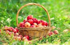 apple windfall