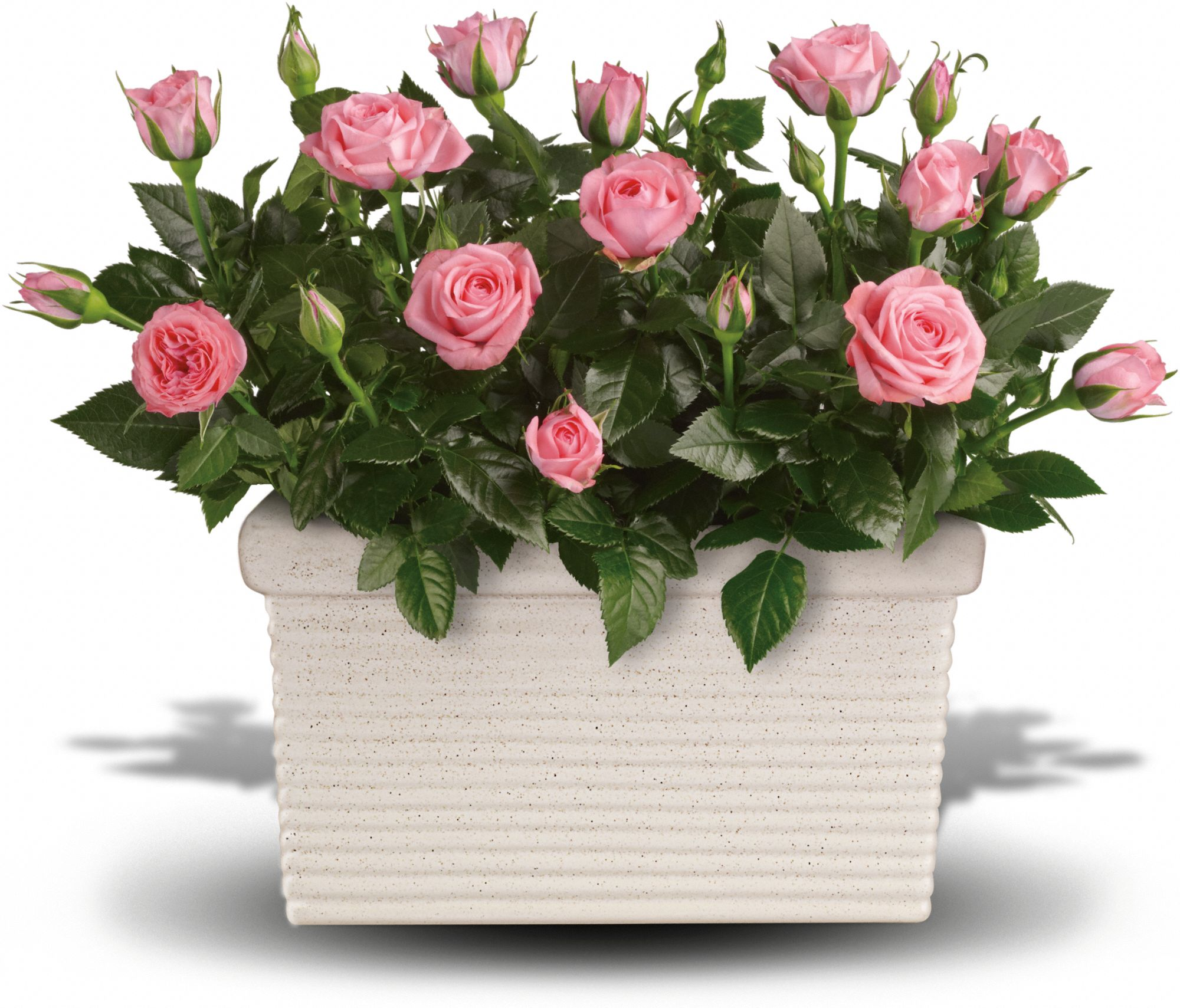 Guide for Growing Miniature Roses Indoors Miniature Rose