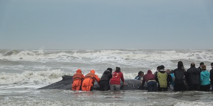Rescate ballena jorobada Mar del Tuyu III