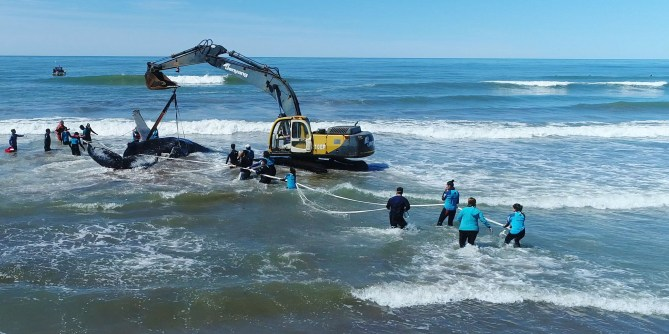 Rescate ballena jorobada Mar del Tuyu IX