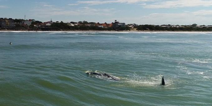 Rescate ballena jorobada Mar del Tuyu XIV