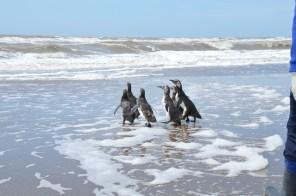 El regreso al mar de siete pingüinos en San Clemente del Tuyú
