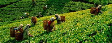 Negocio deCultivos de té