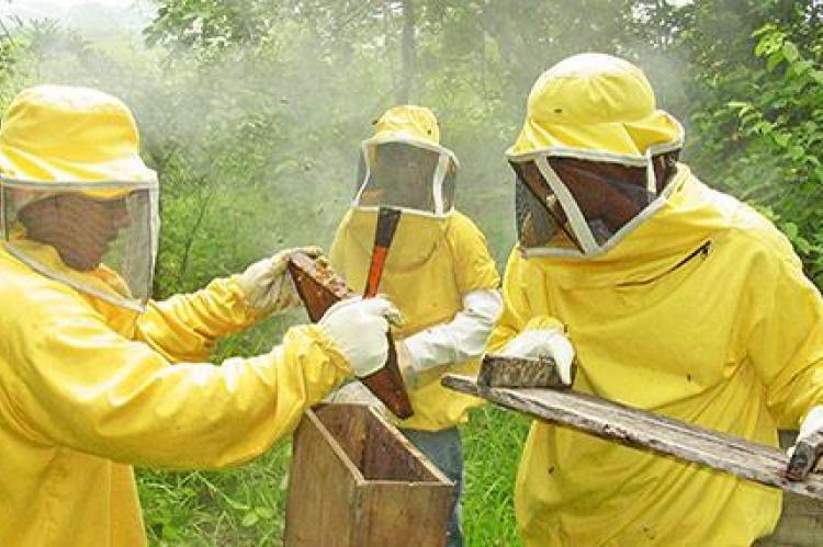 Apicultores en Nicaragua crían abejas reinas para paliar efectos de la sequía