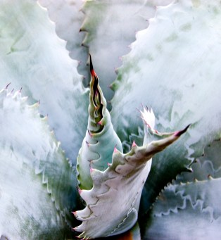 Heart of the Agave