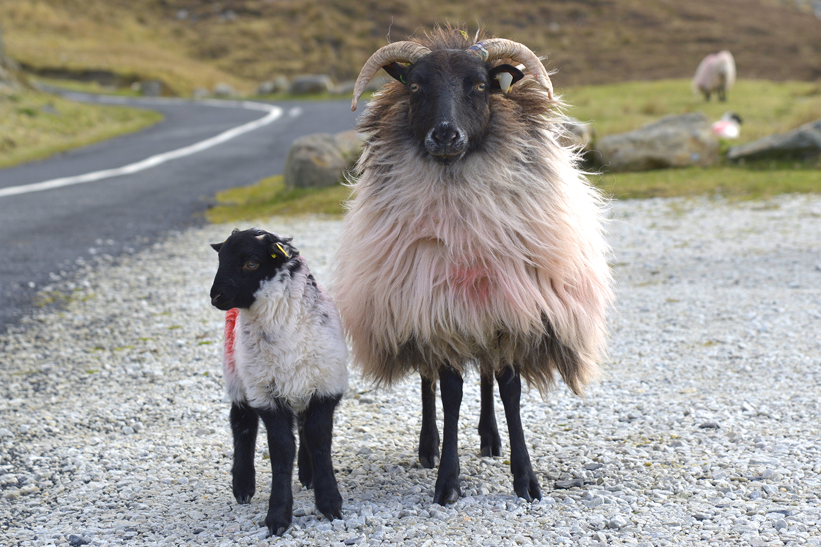 Blackface Mountain Sheep - Achill Island, Ireland