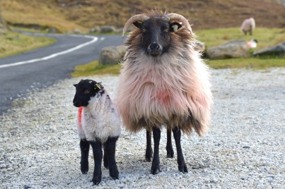 Blackface Mountain Sheep - Achill Island, Ireland