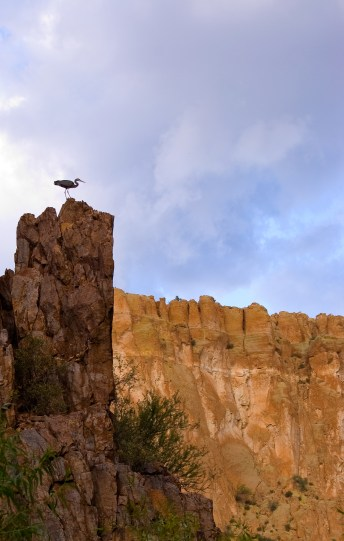 Blue Heron at Aravaipa - Arizona