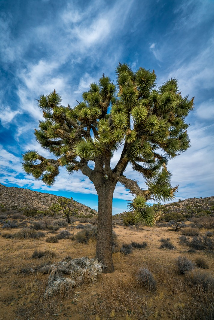 Solo Tree - Joshua Tree National Park, California